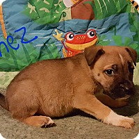 Adopt A Pet :: Gomez - Albany, NC