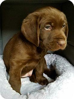 Labrador Retriever Mix Puppy for adoption in Alexandria, Virginia - Lemonade's Heart