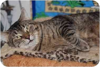 Domestic Shorthair Cat for adoption in New Port Richey, Florida - Zabu