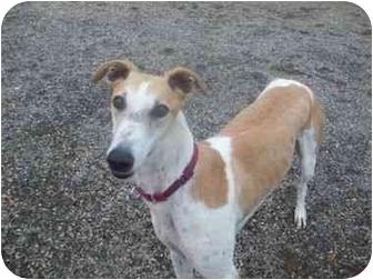 Greyhound Dog for adoption in Roanoke, Virginia - Luck