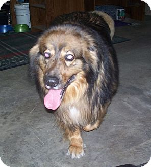 leonberger german shepherd mix tyson adopted dog scs06041202 salem or leonberger 8351