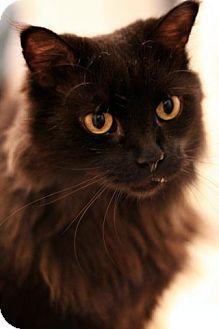 Domestic Mediumhair Cat for adoption in Alexandria, Virginia - Freddie