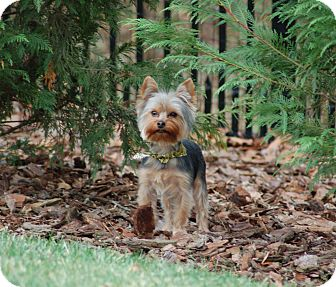 Yorkie, Yorkshire Terrier Puppy for adoption in Charlotte, North