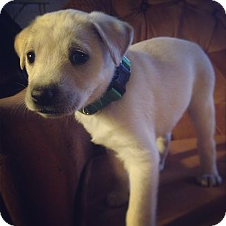 Labrador Retriever Mix Puppy for adoption in Torrance, California - DAISY