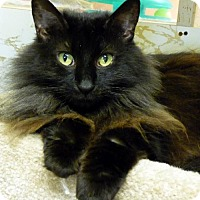 Domestic Mediumhair Cat for adoption in Westville, Indiana - Monica