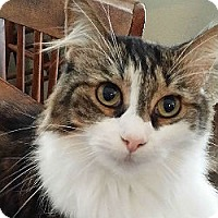 Domestic Longhair Cat for adoption in Kennedale, Texas - Baby Sister