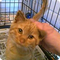 Adopt A Pet :: Feral Kitten - Neutered - Alliance, OH