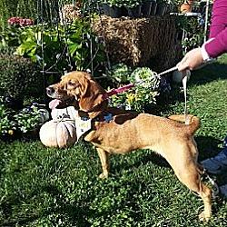 Photo 2 - Beagle Mix Dog for adoption in Richmond, Virginia - Dixie