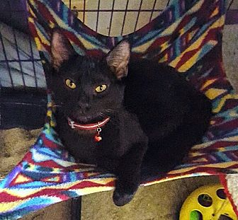Domestic Shorthair Kitten for adoption in San Ramon, California - Virginia
