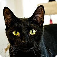 American Shorthair Cat for adoption in Indiana, Pennsylvania - JOHN