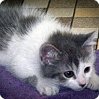Adopt A Pet :: Spirit - Mt. Prospect, IL
