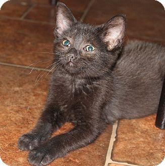 Domestic Shorthair Cat for adoption in Hopkinsville, Kentucky - Melissa