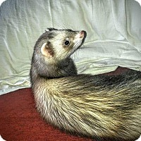 Ferret for adoption in Red Bank, New Jersey - Maggie