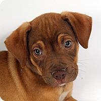 Adopt A Pet :: Ranger Heeler Mix - St. Louis, MO