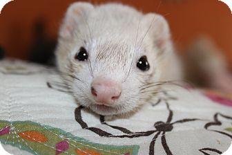 Ferret for adoption in Chantilly, Virginia - Luna
