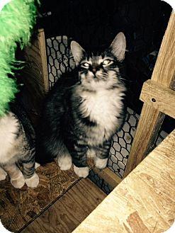 Domestic Longhair Kitten for adoption in Cardwell, Montana - Bonhoeffer
