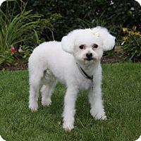 Adopt A Pet :: ADALINE - Newport Beach, CA