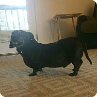 Adopt A Pet :: Buzzy - Springfield, MO
