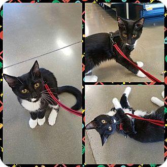Domestic Shorthair Kitten for adoption in Ringgold, Georgia - Ben