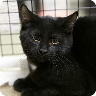 Domestic Shorthair Kitten for adoption in Kettering, Ohio - Tarzan