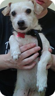 Terrier (Unknown Type, Small) Mix Dog for adoption in Thousand Oaks, California - Chopper