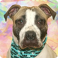 Staffordshire Bull Terrier Mix Dog for adoption in Cincinnati, Ohio - Lola