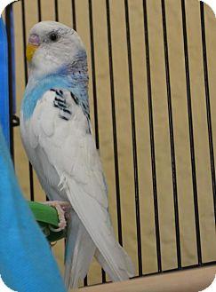 Parakeet - Other for adoption in Englewood, Florida - Ashitaka