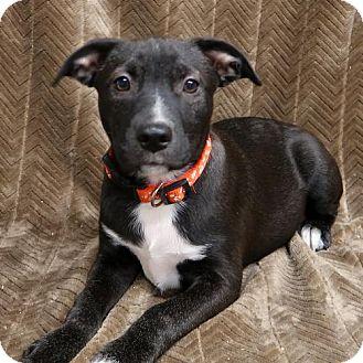 Australian Shepherd/American Bulldog Mix Puppy for adoption in Saratoga, New York - Chloe