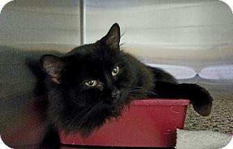 Domestic Mediumhair Cat for adoption in Elyria, Ohio - Boo