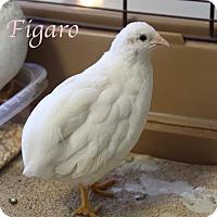 Adopt A Pet :: Figaro - Bradenton, FL
