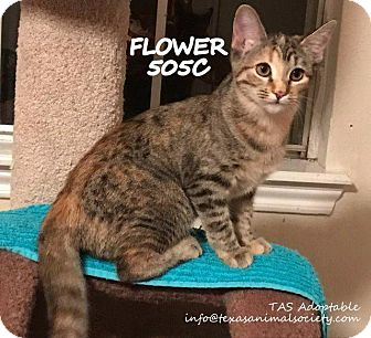 Domestic Shorthair Cat for adoption in Spring, Texas - Flower