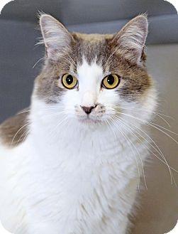 Domestic Mediumhair Cat for adoption in Encinitas, California - Lilac