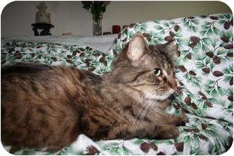 Maine Coon Cat for adoption in Santa Rosa, California - Percival