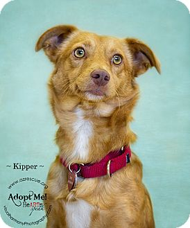 Corgi Mix Dog for adoption in Phoenix, Arizona - Kipper