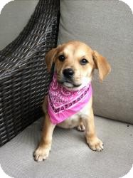 Labrador Retriever/Hound (Unknown Type) Mix Puppy for adoption in Marlton, New Jersey - Baby Sandy