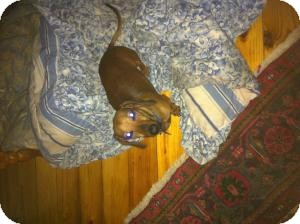 Dachshund Mix Dog for adoption in Marlton, New Jersey - Bo Bo