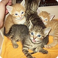Adopt A Pet :: itty bitty kitty 6-8 - Little Neck, NY