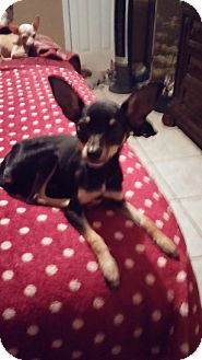 Chihuahua Mix Dog for adoption in Brooksville, Florida - Keisha