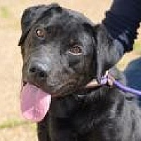 Labrador Retriever Mix Dog for adoption in Jackson, Mississippi - Promise
