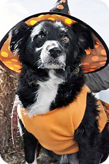 Border Collie/Poodle (Miniature) Mix Dog for adoption in Georgetown, Kentucky - Ladybug