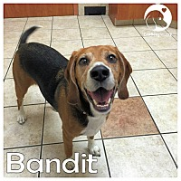 Adopt A Pet :: Bandit - Chicago, IL