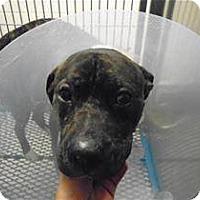 Adopt A Pet :: Brenda Lee Barnbuster - Troy, MI