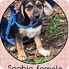 Adopt A Pet :: Sophie (Pom)
