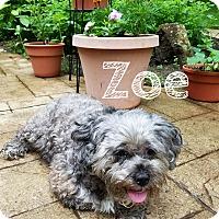 Adopt A Pet :: Zoe - New Oxford, PA