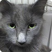 Domestic Longhair Cat for adoption in Owenboro, Kentucky - SPARKLES