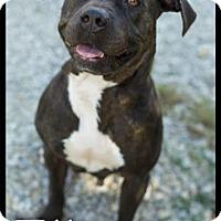 Adopt A Pet :: Ella ($200 Adoption Fee) - Brattleboro, VT