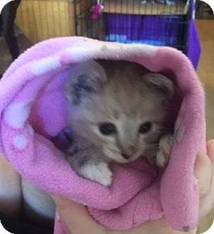 Domestic Mediumhair Kitten for adoption in Sacramento, California - *GASTON