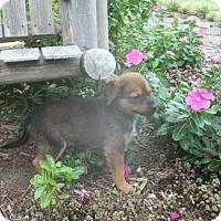 Adopt A Pet :: Rasia - Rocky Mount, NC
