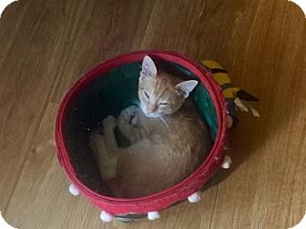 Domestic Shorthair Kitten for adoption in Bulverde, Texas - Noodle