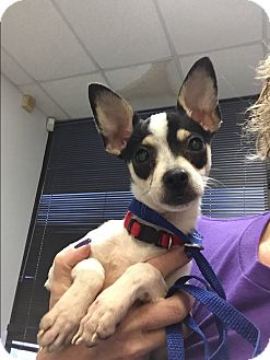 chihuahua rescue houston ringo adopted puppy houston tx chihuahua schnauzer 4915